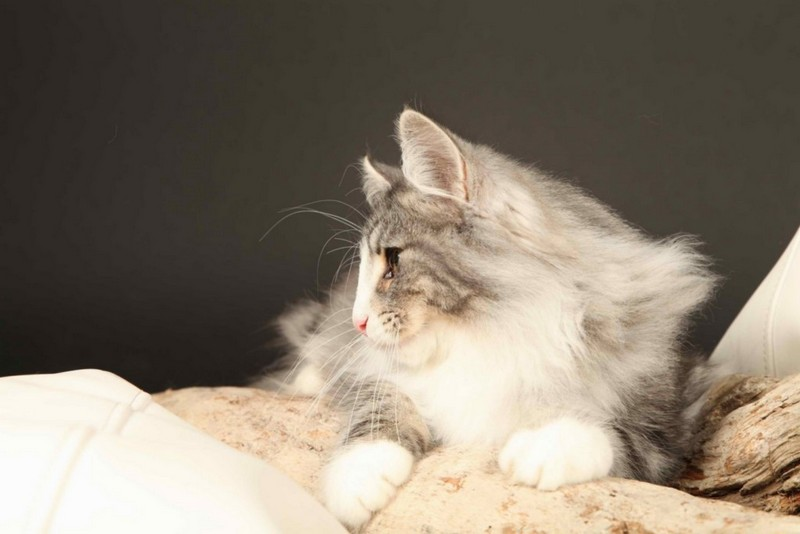Chat norvegien silver tabby with blue